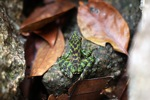 Black-spotted rock frog (Staurois natator) [kalbar_1814]