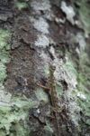 Flying dragon lizard in Borneo [kalbar_1824]