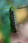 Black, yellow, red caterpillar