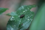 Yellow and black weevil