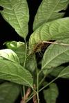Crazy giant centipede [kalbar_1941]