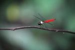 Leaf-mimicking katydid [kalbar_1969]