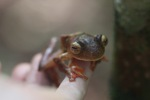 Bornean Gliding leopard frog (Rhacophorus pardalis) [kalbar_2012]