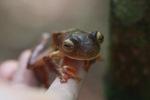 Bornean Flying tree frog (Rhacophorus pardalis) [kalbar_2015]