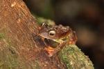 Kalimantan Terbang leopard katak (Rhacophorus pardalis)