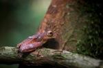 Borno Flying tree frog (Rhacophorus pardalis)