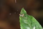 Orange-headed katydid [kalbar_2070]