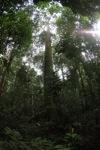 Rainforest Dipterocarp in Borneo