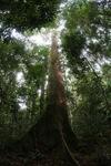 Dipterocarp tree in the Borneo jungle