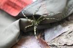 Giant green spider [kalbar_2095]