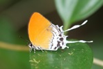 Orange butterfly with white streamers [kalbar_2109]