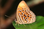 Orange and red butterfly with blue and black spots [kalbar_2116]