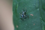 Turquoise and black jumping spider [kalbar_2119]