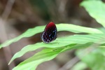 Spectacular red,white, and blue butterfly - Malay Red Harlequin (Paralaxita damajanti) butterfly