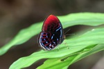 Beautiful red,white, and blue butterfly - Malay Red Harlequin (Paralaxita damajanti) butterfly [kalbar_2154]