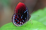 Malay Red Harlequin butterfly (Paralaxita damajanti) [kalbar_2148]