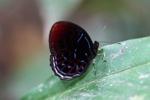 Spektakuler merah, putih, dan biru kupu-kupu