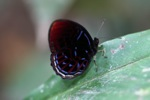 Gorgeous red,white, and blue butterfly - Malay Red Harlequin (Paralaxita damajanti) butterfly [kalbar_2140]