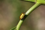 Green and orange beetle with six spots