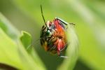 Multicolored beetle [kalbar_2177]