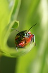 Multicolored beetle [kalbar_2178]