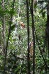 Baby wild orangutan with its mother