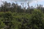 Cleared hutan rawa gambut