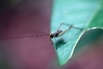 Striped katydid [kalbar_0928]