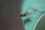 Striped katydid [kalsel_0031]