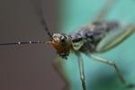Striped katydid [kalsel_0021]