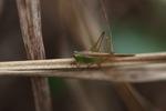 Beige and green grasshopper [kalsel_0038]