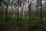 Rubber plantation [kalsel_0059]
