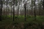 Rubber plantation [kalsel_0062]
