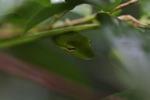 Gunther's Whipsnake (Ahaetulla prasina) [kalsel_0088]