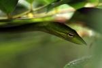 Oriental Whipsnake (Ahaetulla prasina) [kalsel_0095]