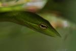 Gunther's Whipsnake (Ahaetulla prasina) [kalsel_0096]