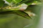 Green Asian Vine Snake (Ahaetulla prasina)