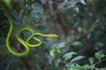 Green Vine Snake (Ahaetulla prasina)