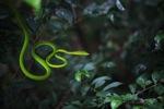 Oriental Tree Snake (Ahaetulla prasina)