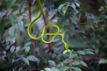 Jade Vine Snake (Ahaetulla prasina) [kalsel_0098]