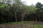 Forest clearing in Taman Hutan Raya [kalsel_0125]