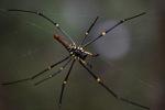 Giant orb-weaving spider [kalsel_0132]