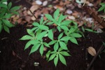 Young manioc leaves