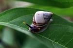 Colorful snail in Borneo