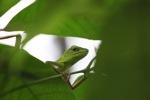 Green Crested Lizard (Bronchocela cristatella) [kalsel_0081]