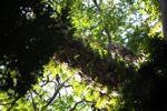 Burung sarang pakis di kanopi hutan hujan