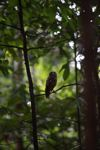Owl in Tangkoko Nature Reserve. Photo by Rhett A. Butler