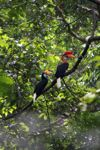 Pria dan Wanita Knobbed Hornbill (ACEROS cassidix)