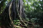 Rain forest in Tangkoko Nature Reserve. Photo by Rhett A. Butler