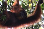 Orangutan di pohon